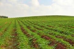 作物栽培在肥沃农场土地 免版税库存图片
