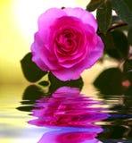 作玫瑰色 库存图片