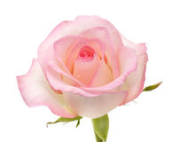 作用柔和的半音粉红色上升了 免版税图库摄影