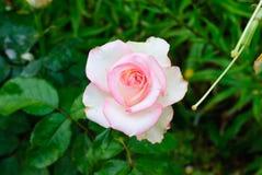 作用柔和的半音粉红色上升了 免版税库存照片