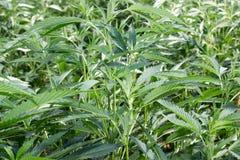 作医疗大麻的加利福尼亚 图库摄影