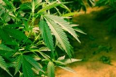作医疗大麻的加利福尼亚 库存图片