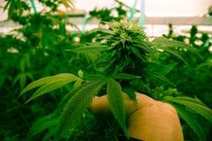 作医疗大麻的加利福尼亚 免版税库存照片