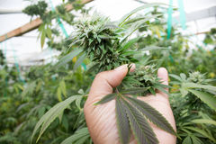 作医疗大麻的加利福尼亚 库存照片