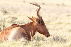作-红色Harte-beest -狷羚buselaphus caama的天 图库摄影
