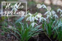 你好春天 开花的snowdrop背景  花森林春天白色 春天第一呼吸  免版税库存照片