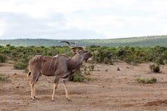 你好-更加伟大的Kudu -非洲羚羊类弯角羚类 库存图片