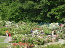 佩吉洛克菲勒玫瑰园32 图库摄影