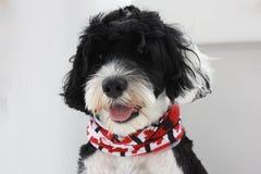 佩带一块红色和白色枫叶班丹纳花绸的葡萄牙水猎狗 库存图片