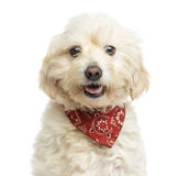 佩带一块红色班丹纳花绸的杂种狗的特写镜头,气喘 免版税库存照片