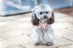 佩带一条逗人喜爱的桃红色项链的灰色长卷毛狗小狗 库存图片