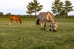 佩带吃草的枪口的小马 库存照片