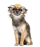 佩带围绕玻璃的奇瓦瓦狗,坐 库存照片
