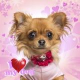 佩带在心脏背景的奇瓦瓦狗的特写镜头一个弓衣领 图库摄影
