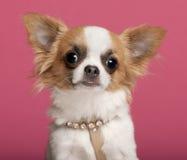 佩带奇瓦瓦狗接近的衣领的金刚石  库存照片