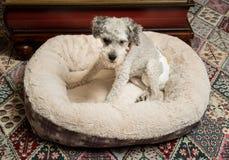 佩带小狗尿布的老灰色狗 库存照片