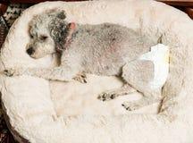 佩带小狗尿布的老灰色狗 免版税库存图片