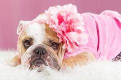 佩带桃红色成套装备和花的母牛头犬 免版税图库摄影