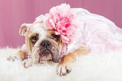 佩带桃红色花头饰带的牛头犬 库存图片