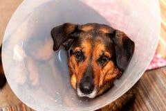 佩带漏斗衣领的病的狗 狗的受伤的后腿的治疗 免版税库存图片
