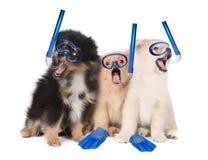 佩带潜航的齿轮的Pomeranian小狗 免版税库存照片