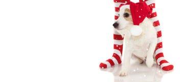 佩带红色圣诞老人圣诞节的一条逗人喜爱的杰克罗素狗的横幅 图库摄影