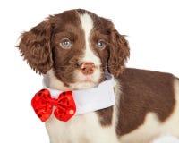 佩带红色圣诞节领带的Closup小狗 免版税图库摄影