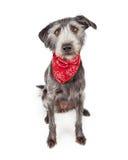 佩带红色班丹纳花绸的逗人喜爱的狗 免版税图库摄影