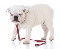 佩带红色皮带的狗 库存照片