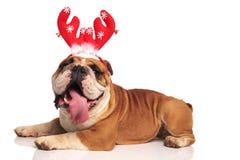 佩带红色驯鹿垫铁的英国牛头犬的侧视图 图库摄影