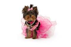 佩带约克夏的狗桃红色狗芭蕾舞短裙 免版税库存图片