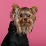 佩带约克夏的黑色接近的狗 免版税库存照片