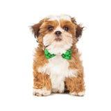 佩带绿色蝶形领结的小狗 免版税库存照片