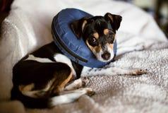 佩带羞辱狗项圈的一个蓝色爆炸锥体小狗 免版税库存图片