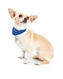 佩带蓝色班丹纳花绸的奇瓦瓦狗狗 库存照片