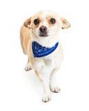佩带蓝色班丹纳花绸的害羞的奇瓦瓦狗狗 免版税图库摄影