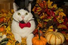 佩带蝶形领结的一只逗人喜爱的猫 库存图片