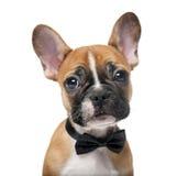佩带蝶形领结的法国牛头犬小狗 图库摄影