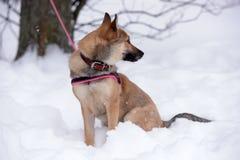 佩带衣领和鞔具的红色狗小狗 免版税库存图片
