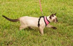 佩带鞔具的一只逗人喜爱的暹罗小猫的侧视图 库存图片