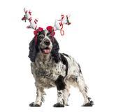 佩带驯鹿的英国猎犬(12岁) headban 库存图片