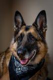 佩带黑班丹纳花绸的德国牧羊犬画象 库存图片