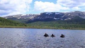 佩戴水肺的潜水在山湖,紧急救助者的实践的技术 浸没在凉水中 股票录像