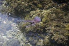 佩拉贾夜光虫,淡紫色有刺的动物,从厄尔巴岛,意大利的水母 库存图片