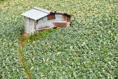 使一个新近地增长的圆白菜领域的看法环境美化在山, Phu选项在Phetchabun省,泰国的Berk小山的 免版税库存照片
