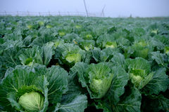 使一个新近地增长的圆白菜领域的看法环境美化 库存照片