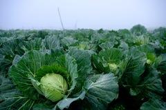 使一个新近地增长的圆白菜领域的看法环境美化 免版税库存照片