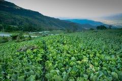 使一个新近地增长的圆白菜领域的看法环境美化 图库摄影