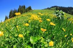 使与新鲜的黄色花的背景环境美化在草原 免版税图库摄影