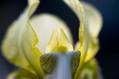使与明亮的黄色瓣的花现虹彩在黑暗的背景 宏指令 免版税库存图片